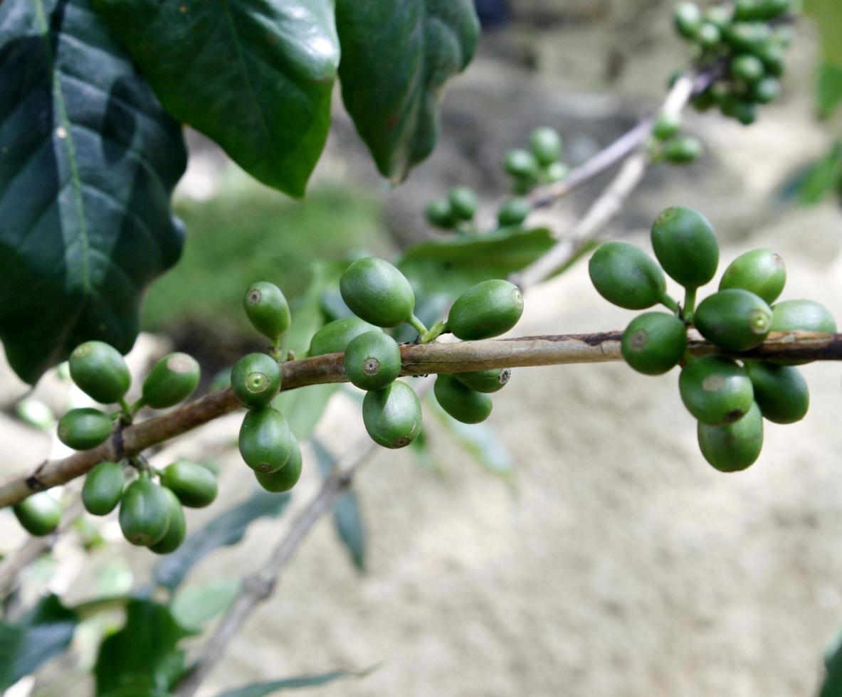 bayas de café verde en la planta foto