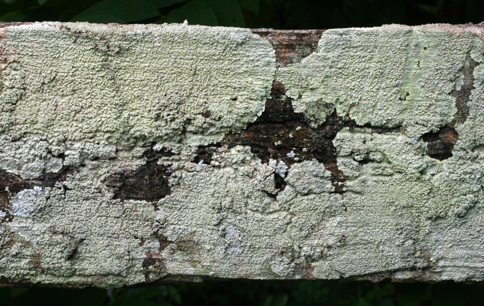 Corteza de árbol viejo con moho foto