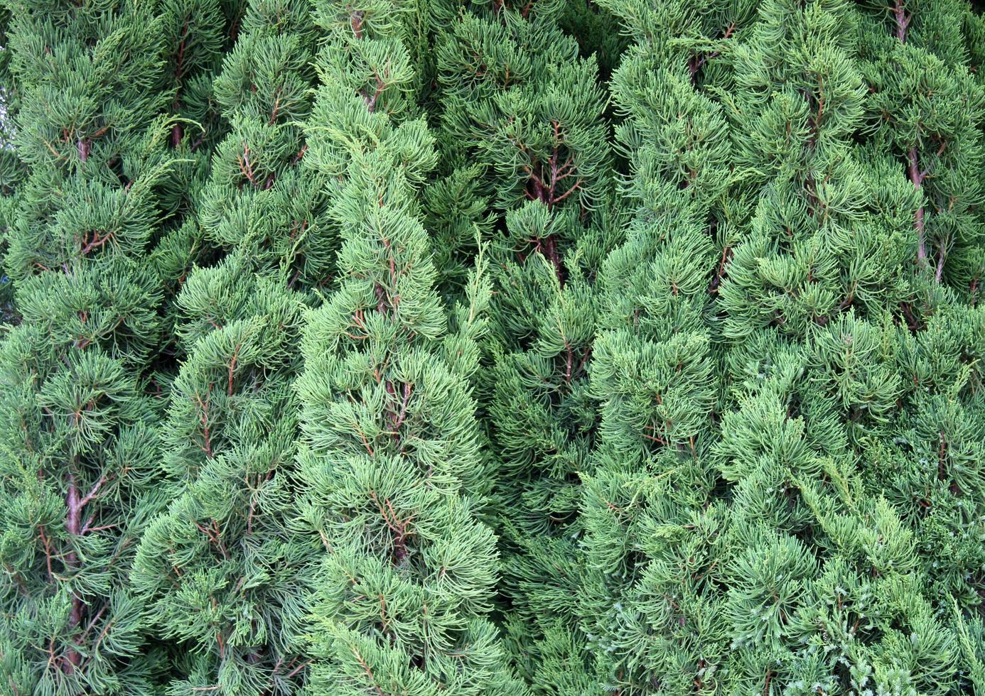 planta verde de hoja perenne foto