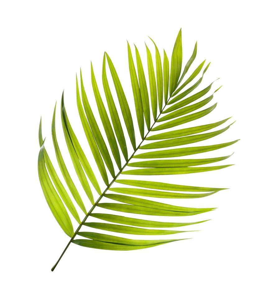 Single coconut tree leaf photo