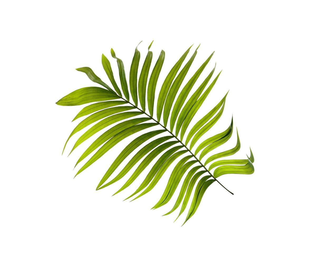hoja de palmera tropical foto