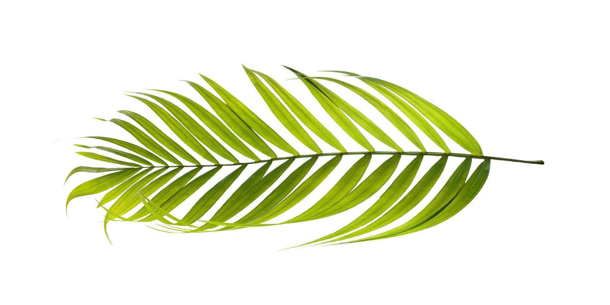 Coconut tree leaf photo