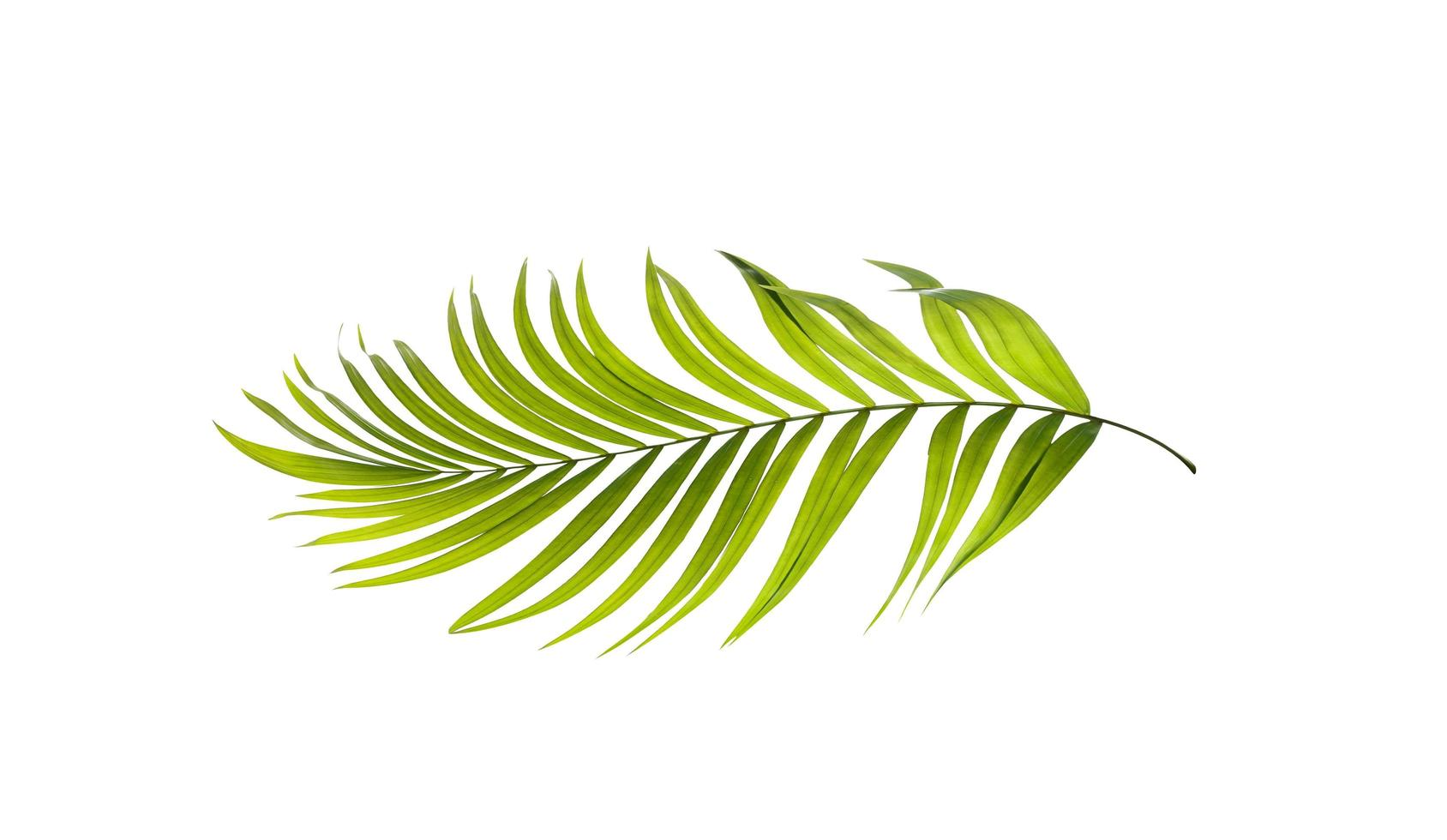 Light green palm tree leaf photo