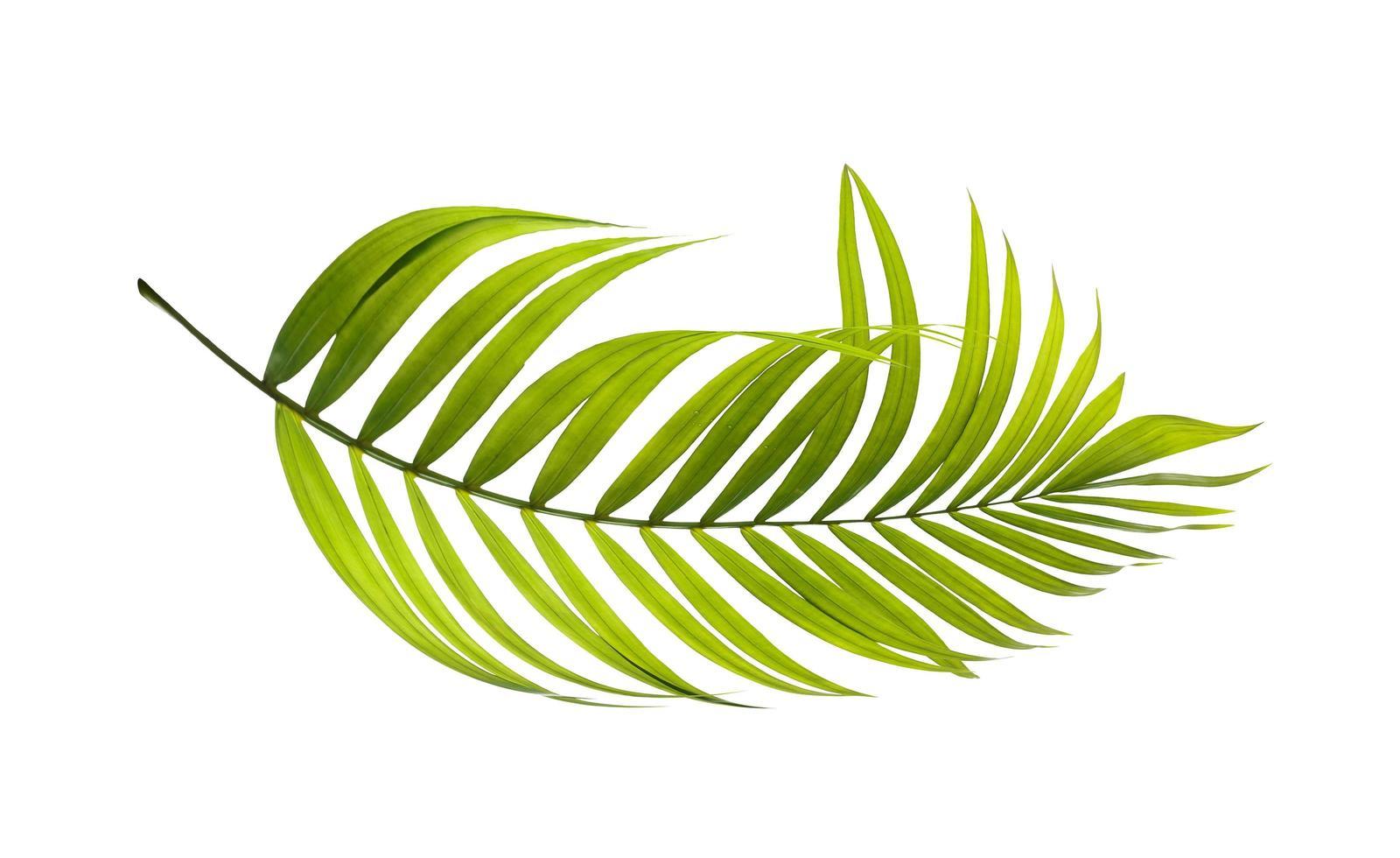 Curved green palm leaf photo