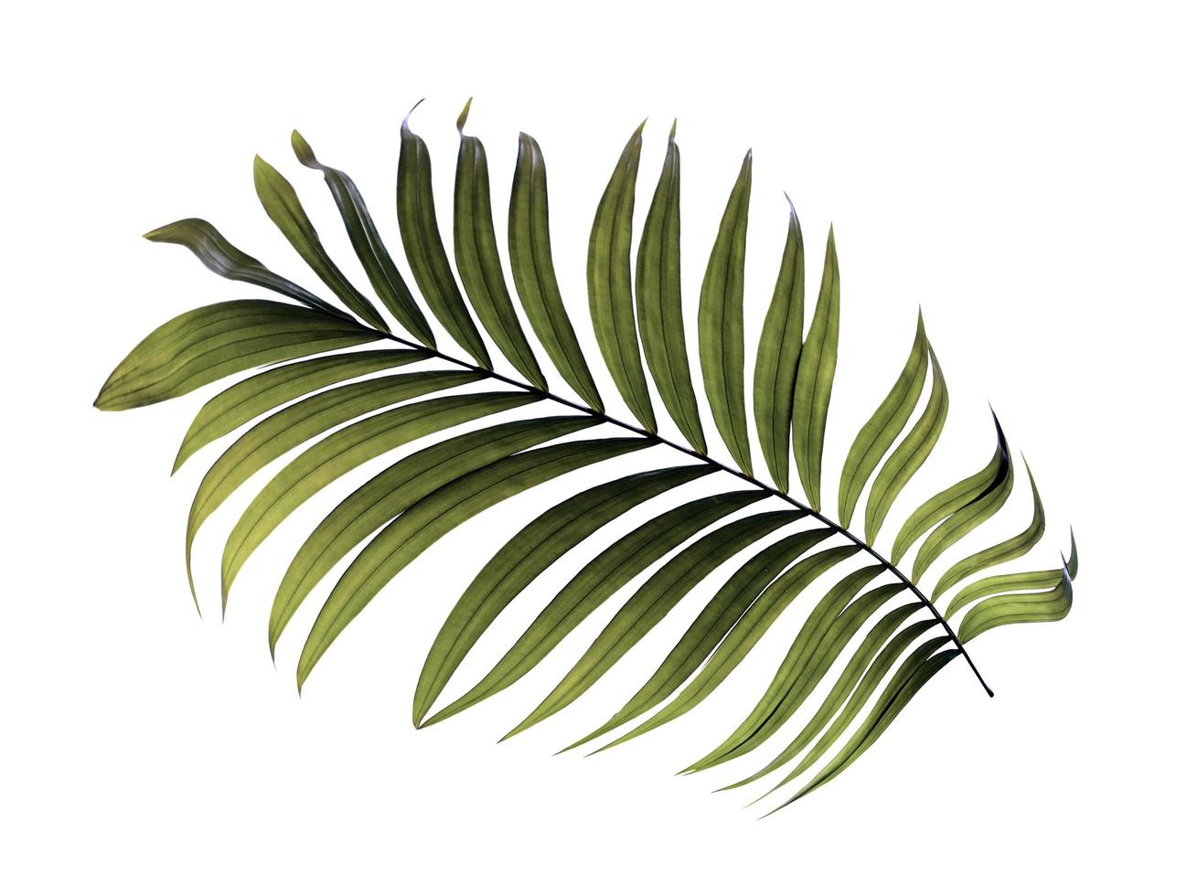 hoja tropical verde oscuro foto