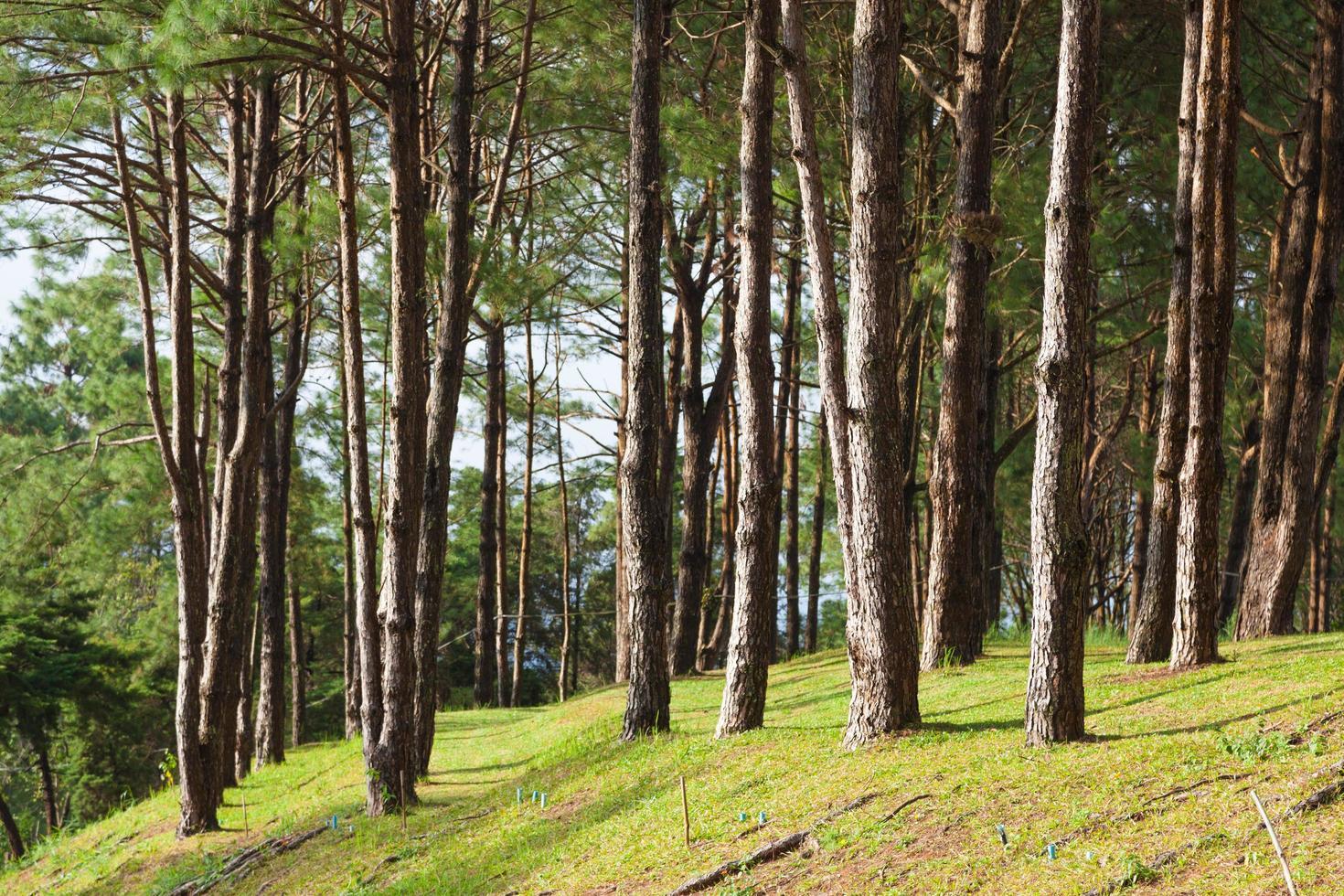 pino que crece en el césped en una colina en el parque foto