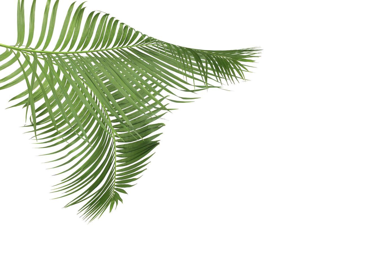 dos hojas de palma aisladas en blanco foto
