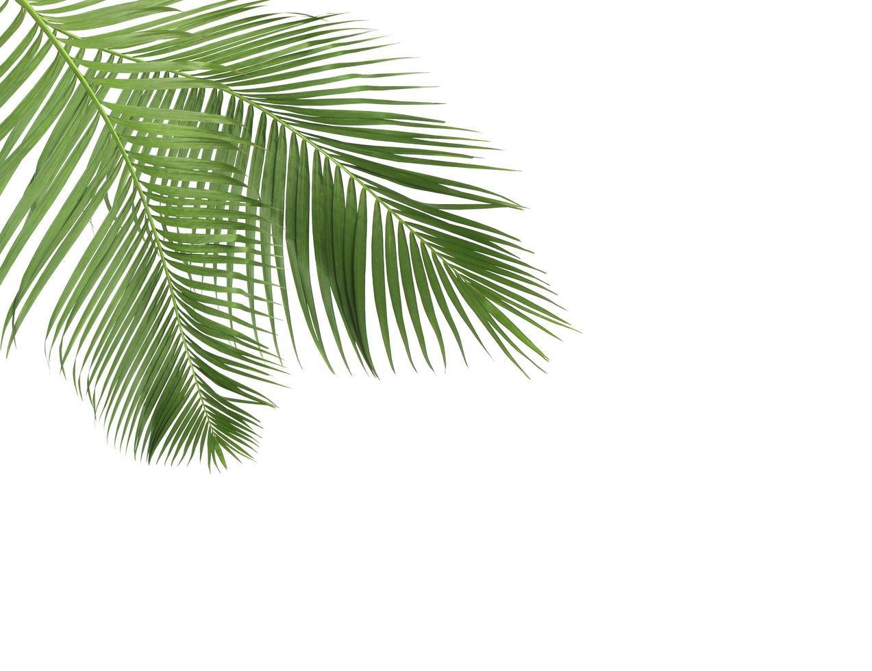 dos ramas de hojas de coco foto