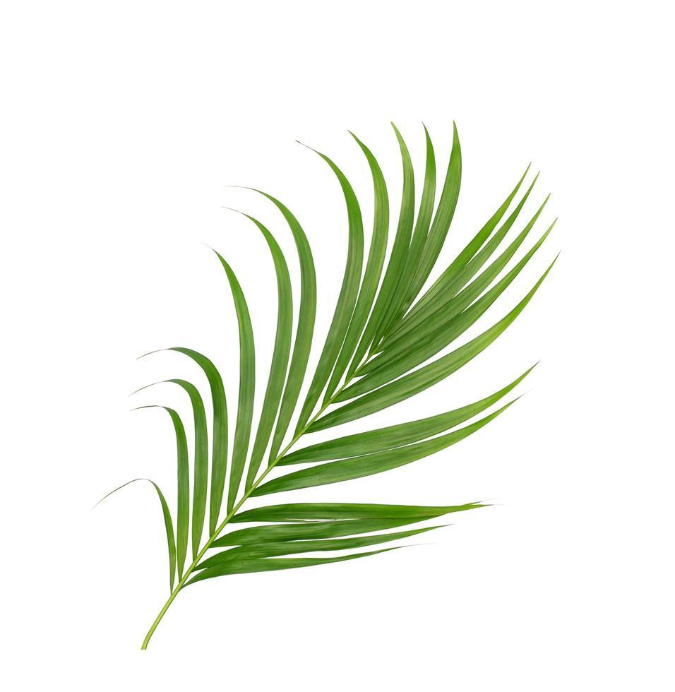 Lush green palm tree foliage on white photo