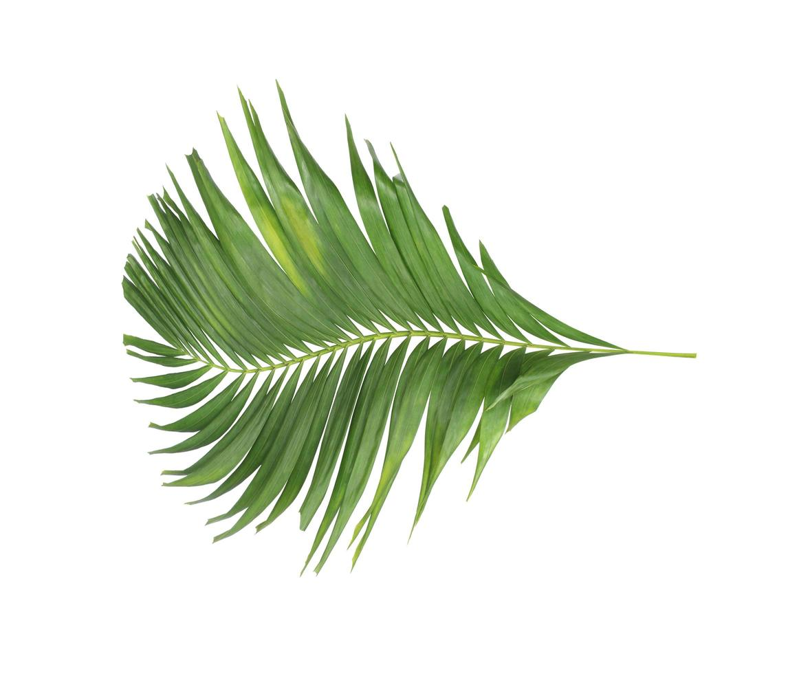 Curved green tropical leaf on white photo