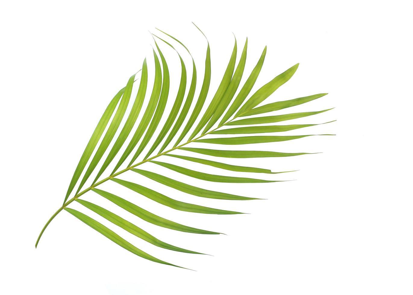 hoja de palma aislada en superficie blanca foto
