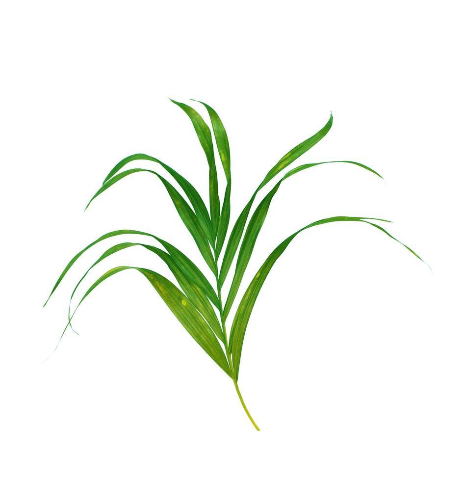 exuberante hoja de palmera verde foto