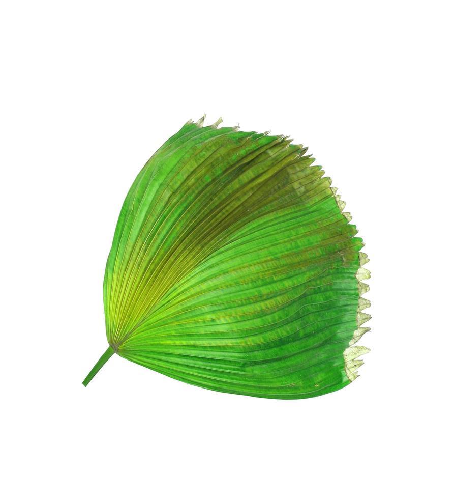 follaje de palmera con manchas marrones foto