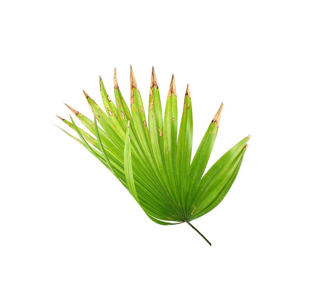 hoja verde brillante con puntas marrones foto