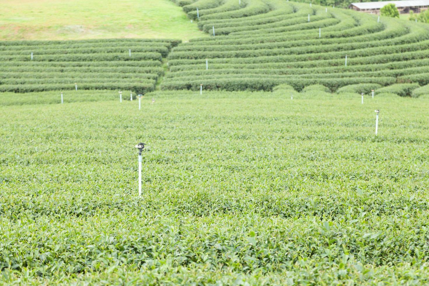 granja de té en tailandia foto