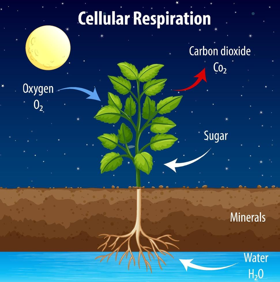 Diagram showing process of cellular respiration vector