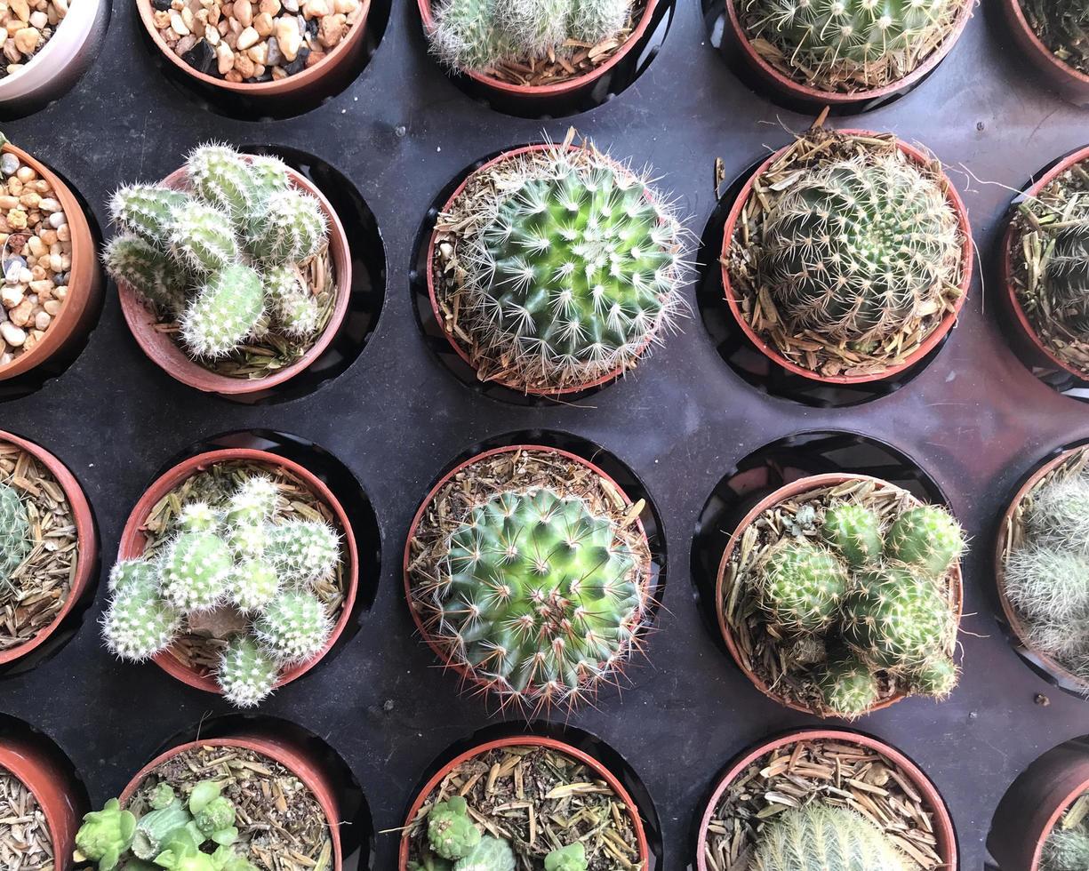 vista superior de plantas de cactus foto