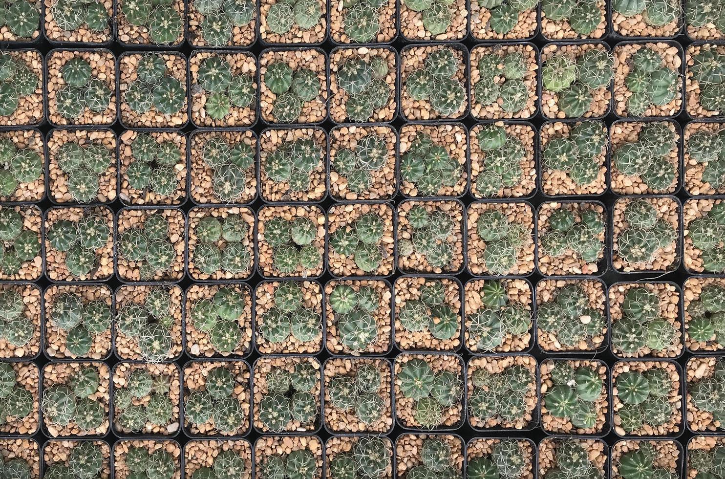 cactus en macetas vista superior foto
