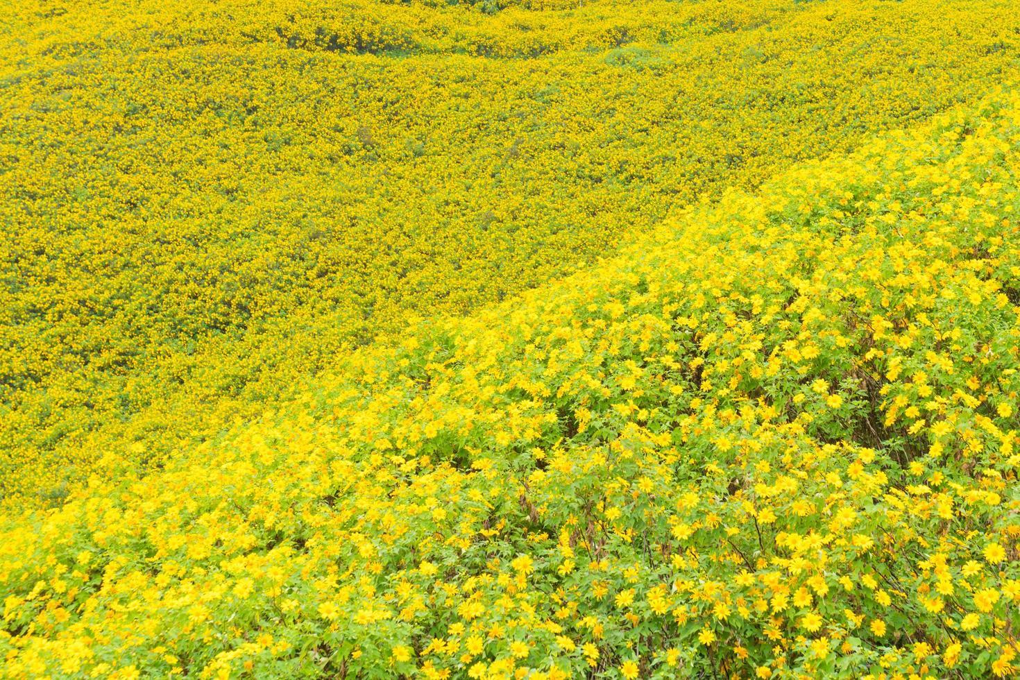 flores amarillas en el campo foto