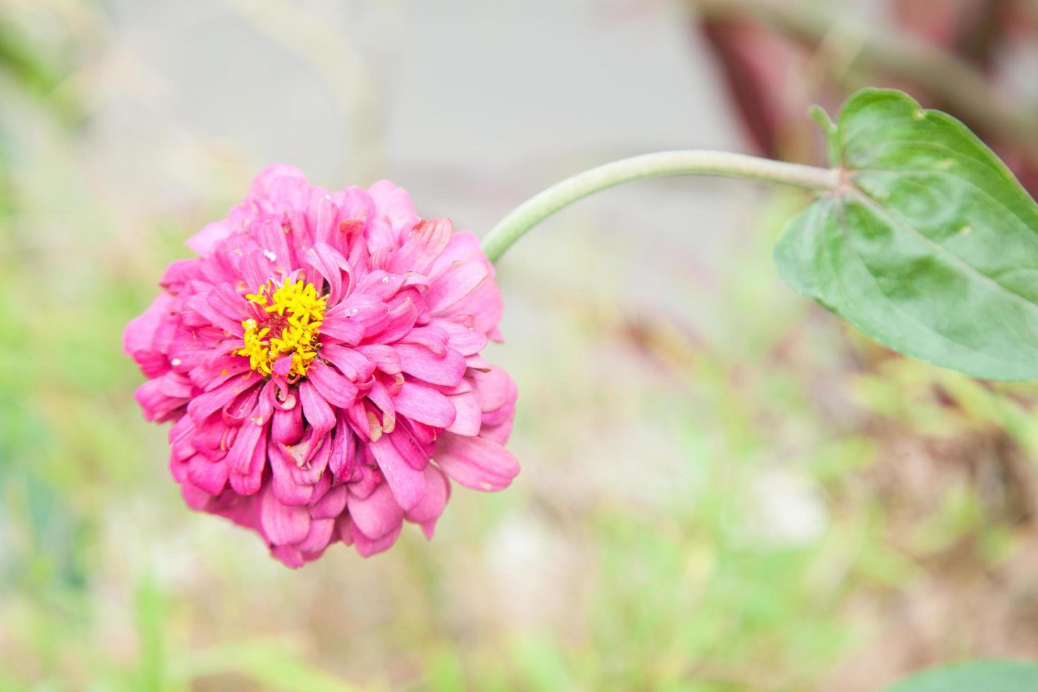 flor rosa en el parque foto