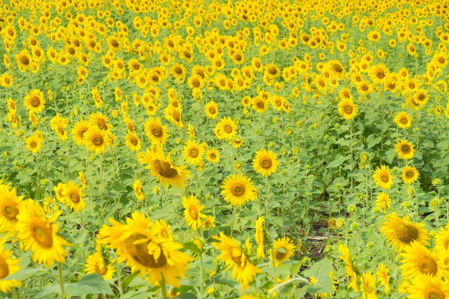 girasol presentado en tailandia foto