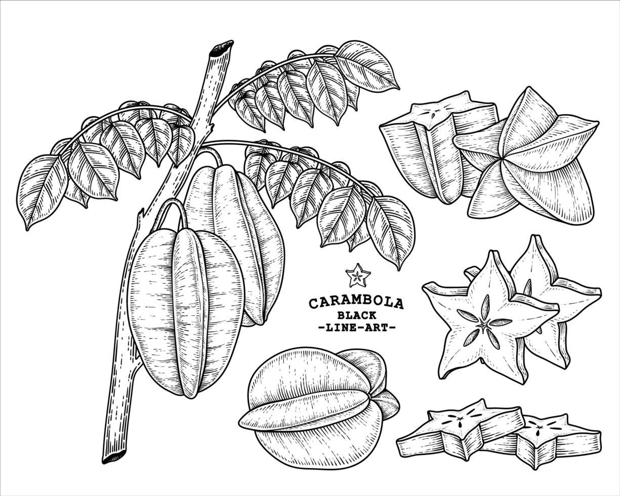 Set of star fruit or Carambola fruit hand drawn elements botanical illustration vector