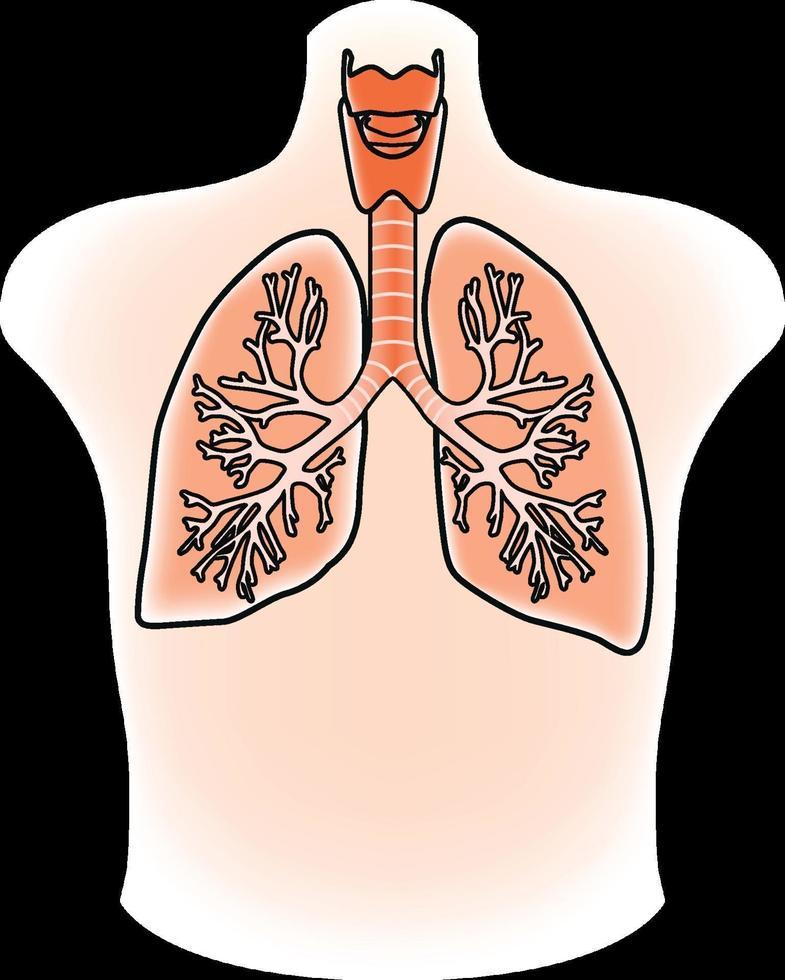 ilustración de los pulmones vector