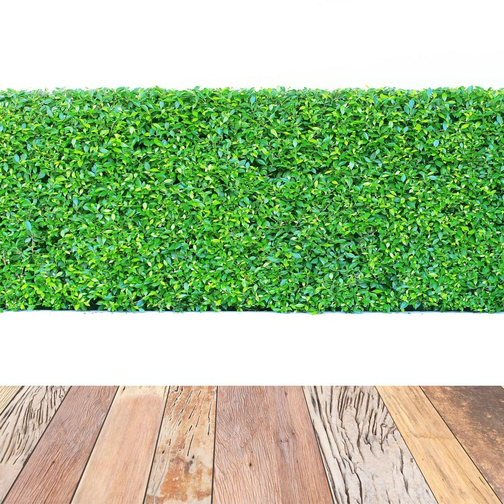 Green hedge and wood table isolated photo