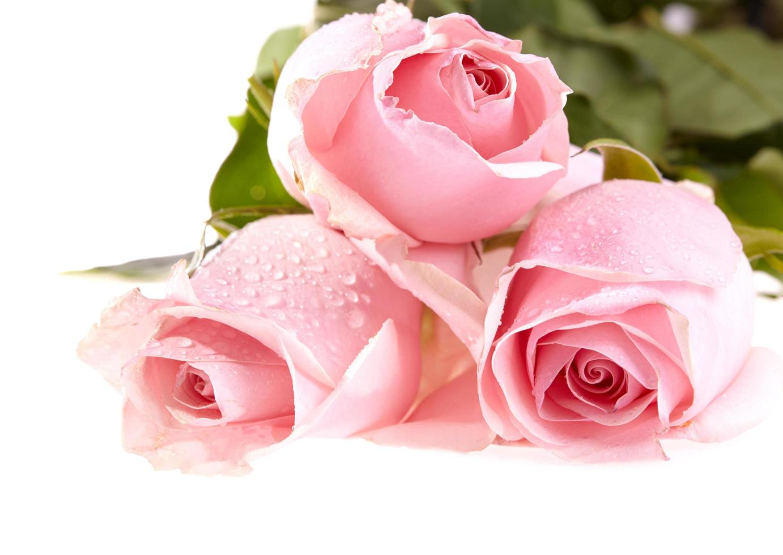 Three pink roses photo
