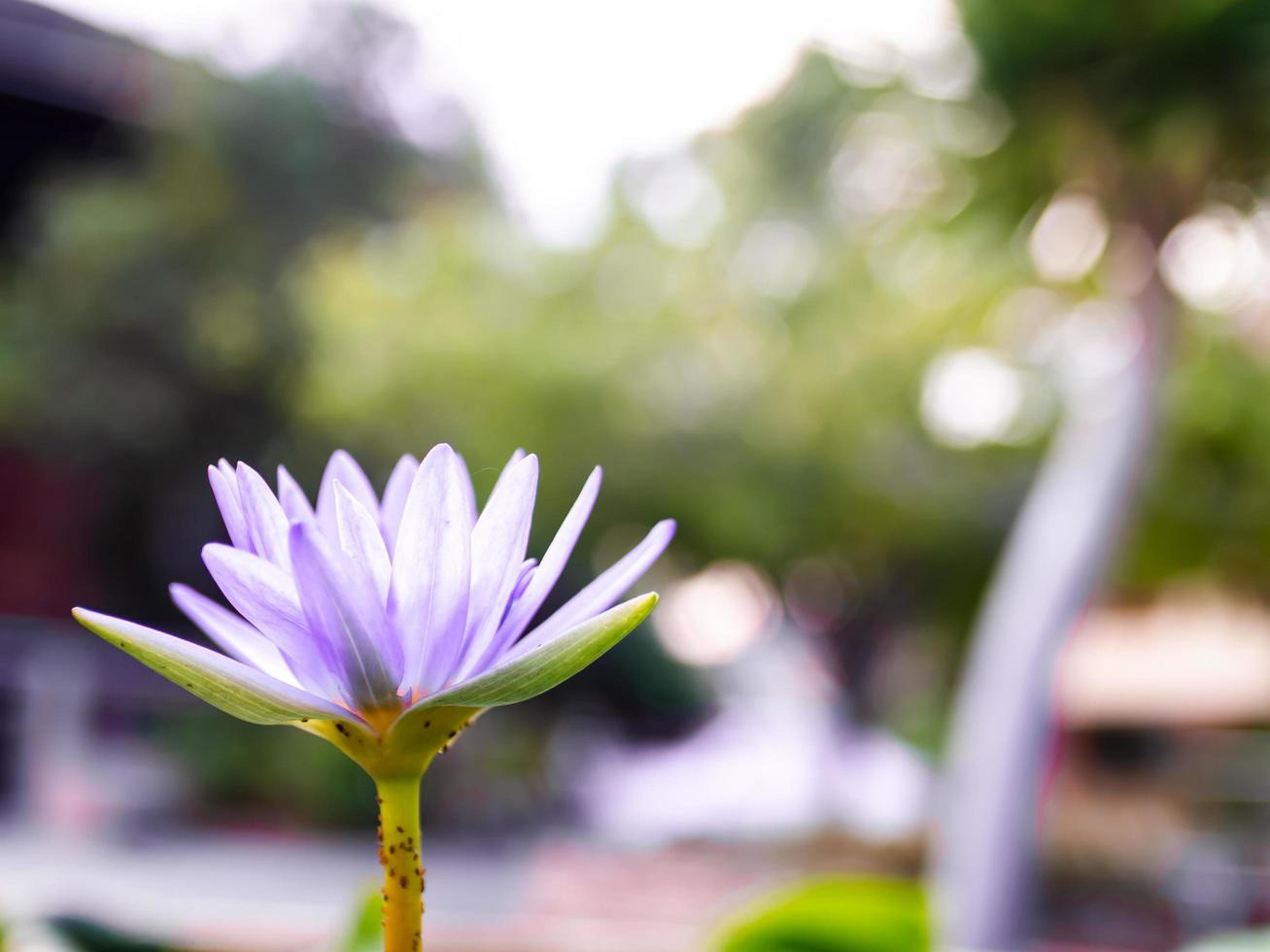 Purple lotus blossoms photo