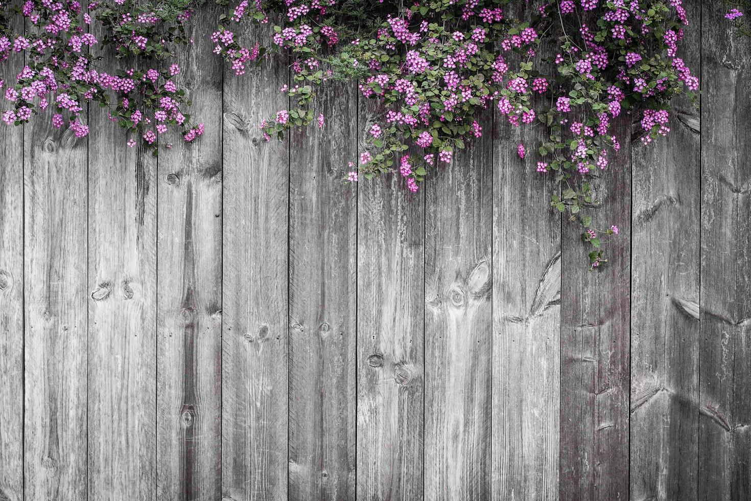 Beautiful violet floral blossom on a fence photo