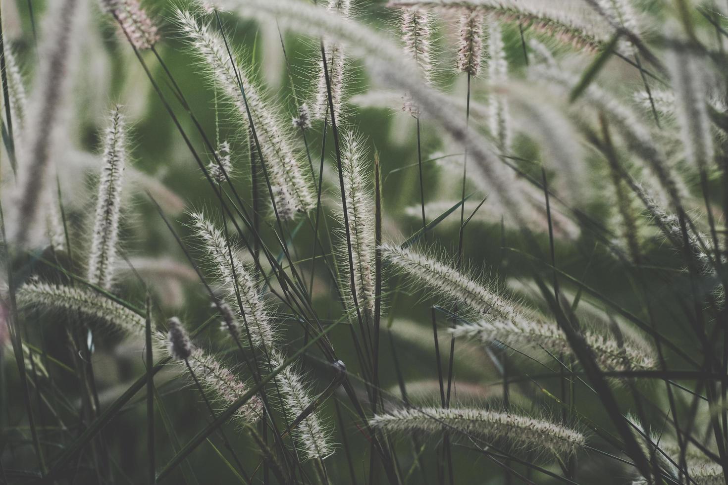 Wild cattail grasses photo