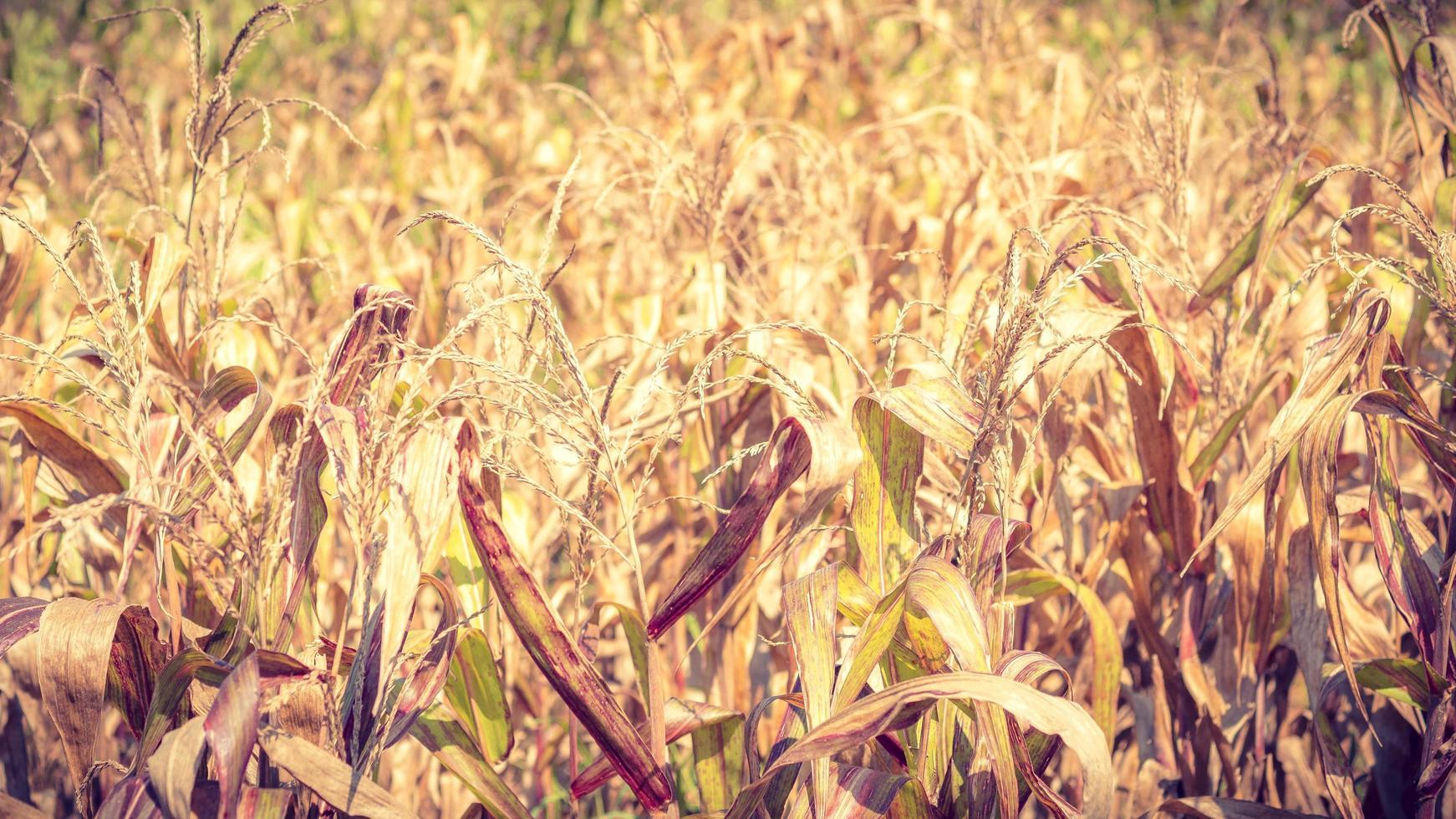 campo de maíz seco foto