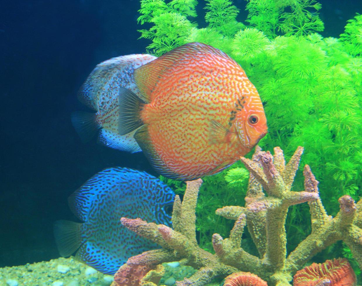 Discus fish in an aquarium photo