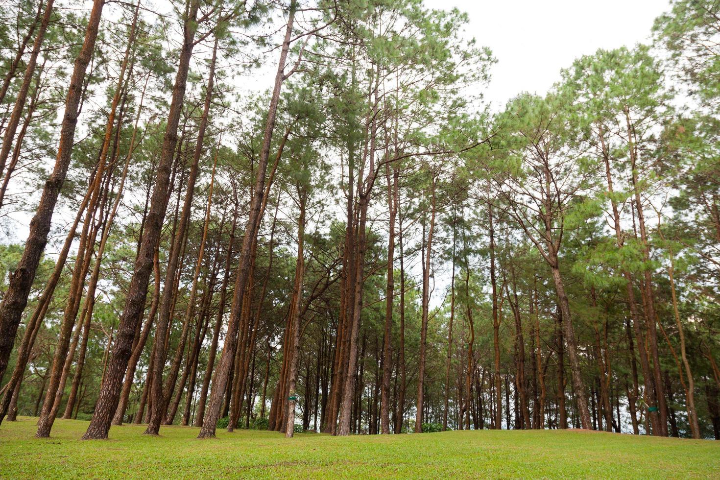 pinos que crecen en el parque. foto