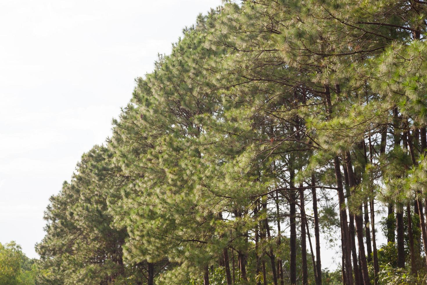 ramas de los pinos foto
