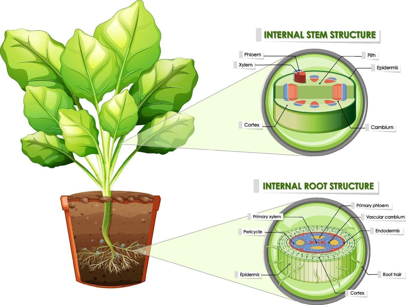 diagrama que muestra la estructura del tallo y la raíz vector