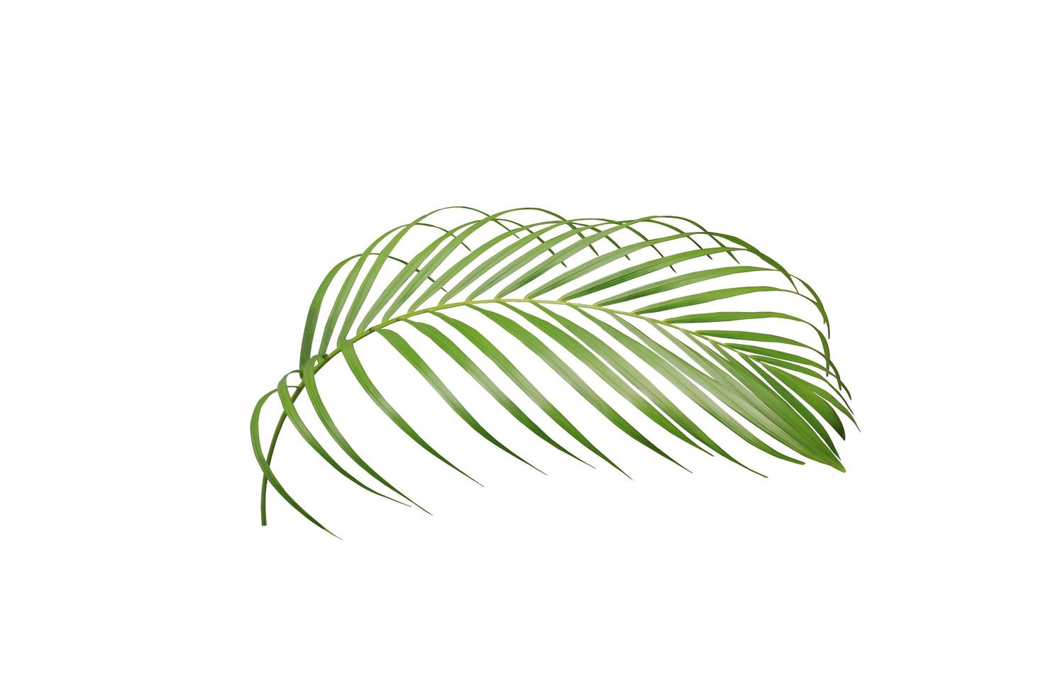 Lush palm tree leaf photo
