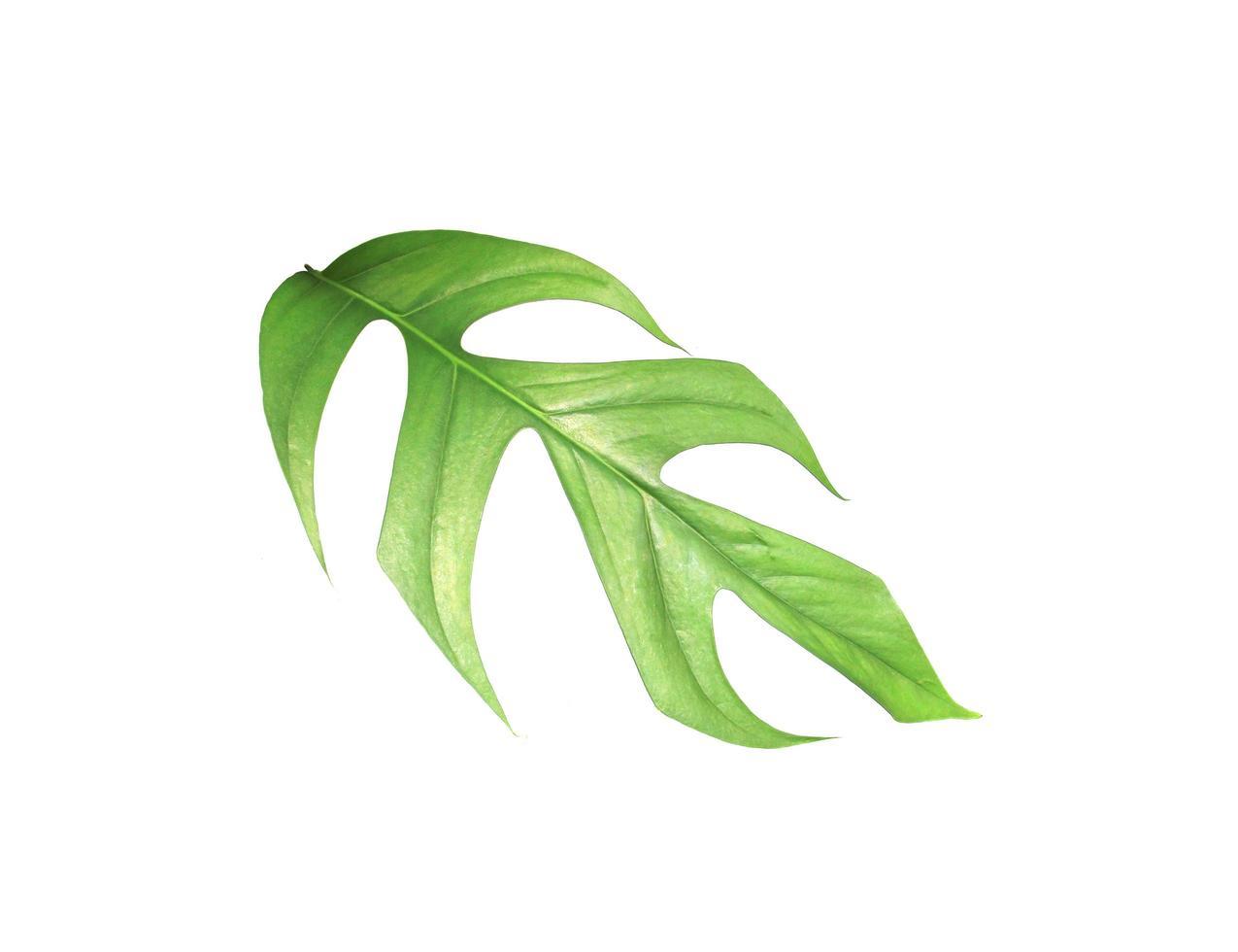 Green monstera leaf photo