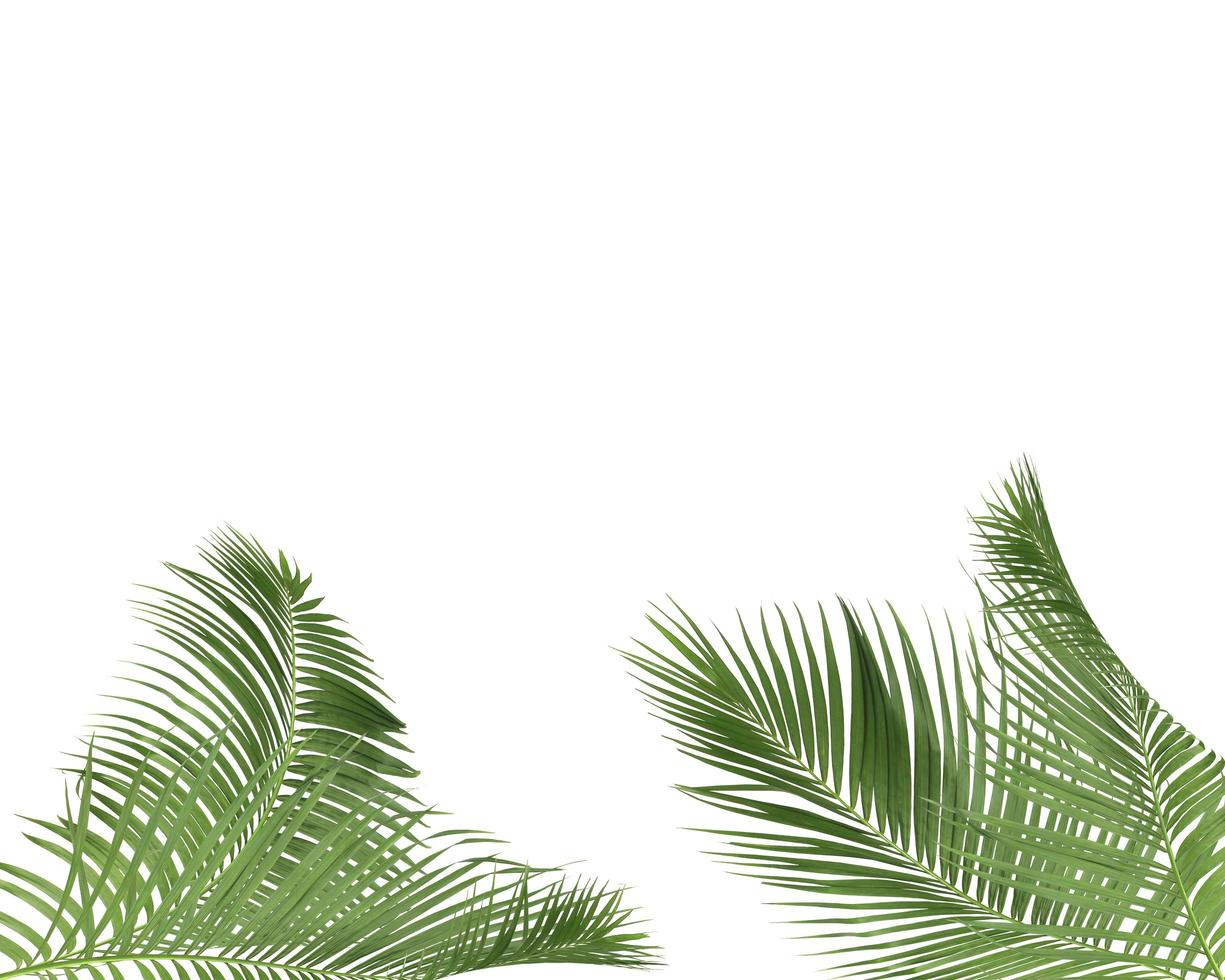 Green palm leaves on white background with copy space photo