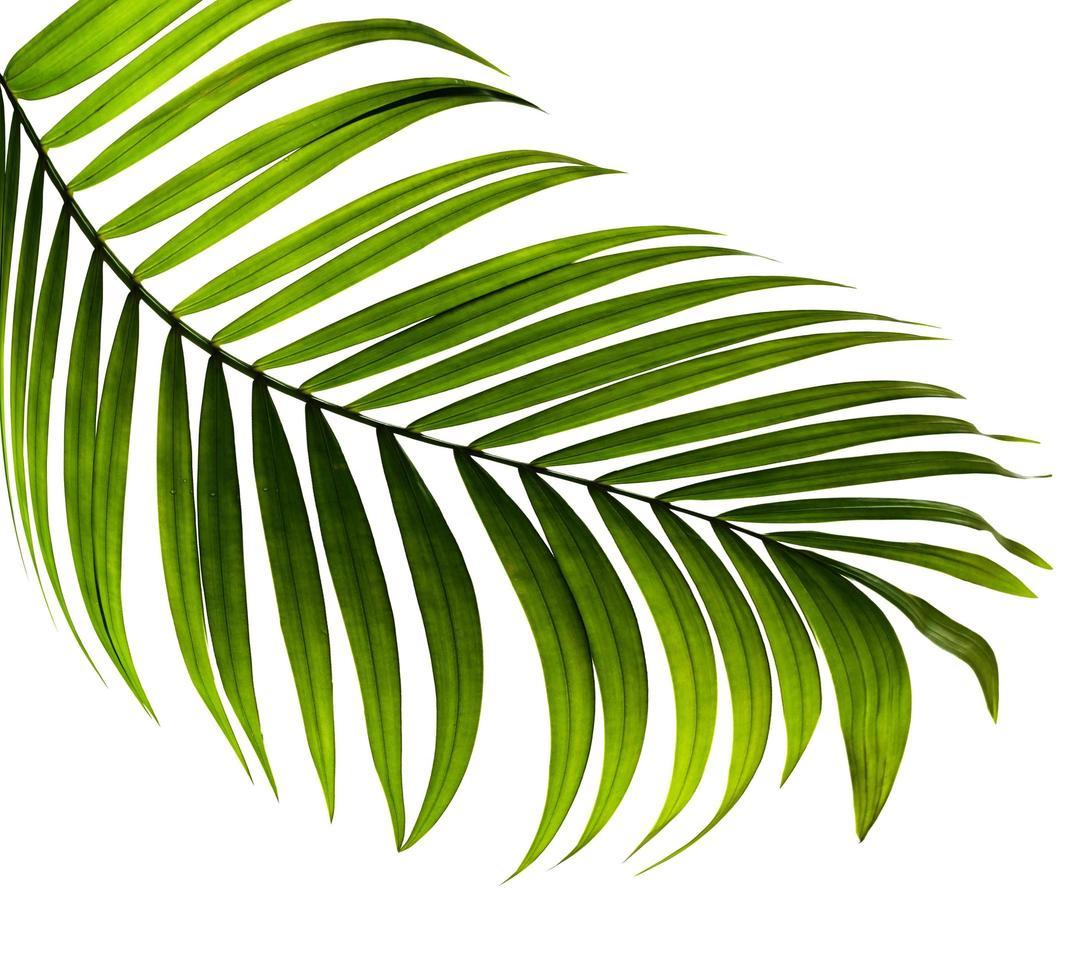 hoja tropical verde curvada aislada foto