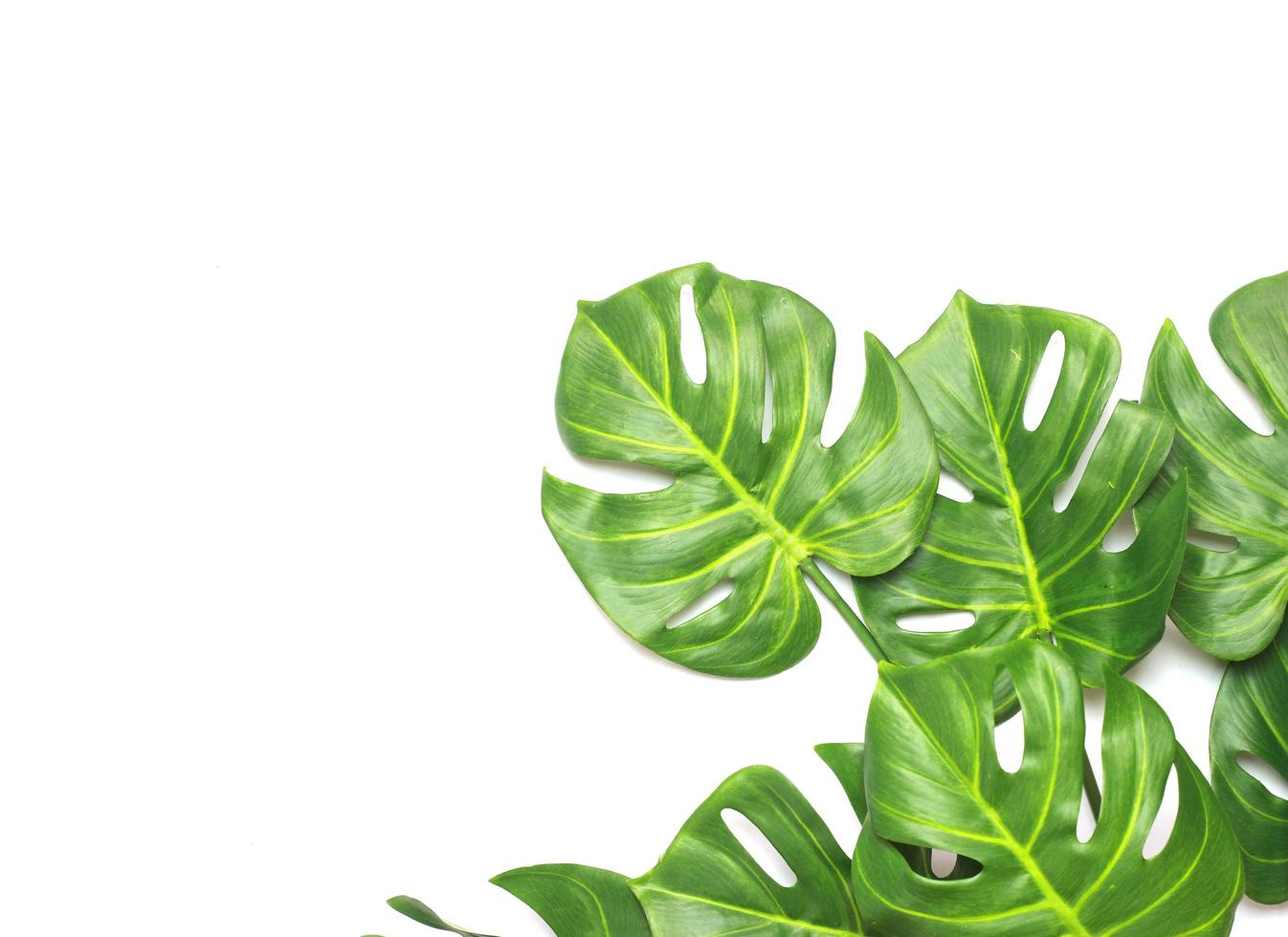 Bright green monstera palm leaves photo