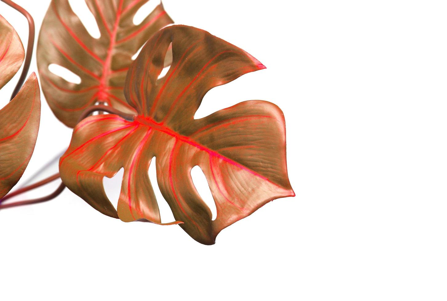 Red monstera palm leaves photo
