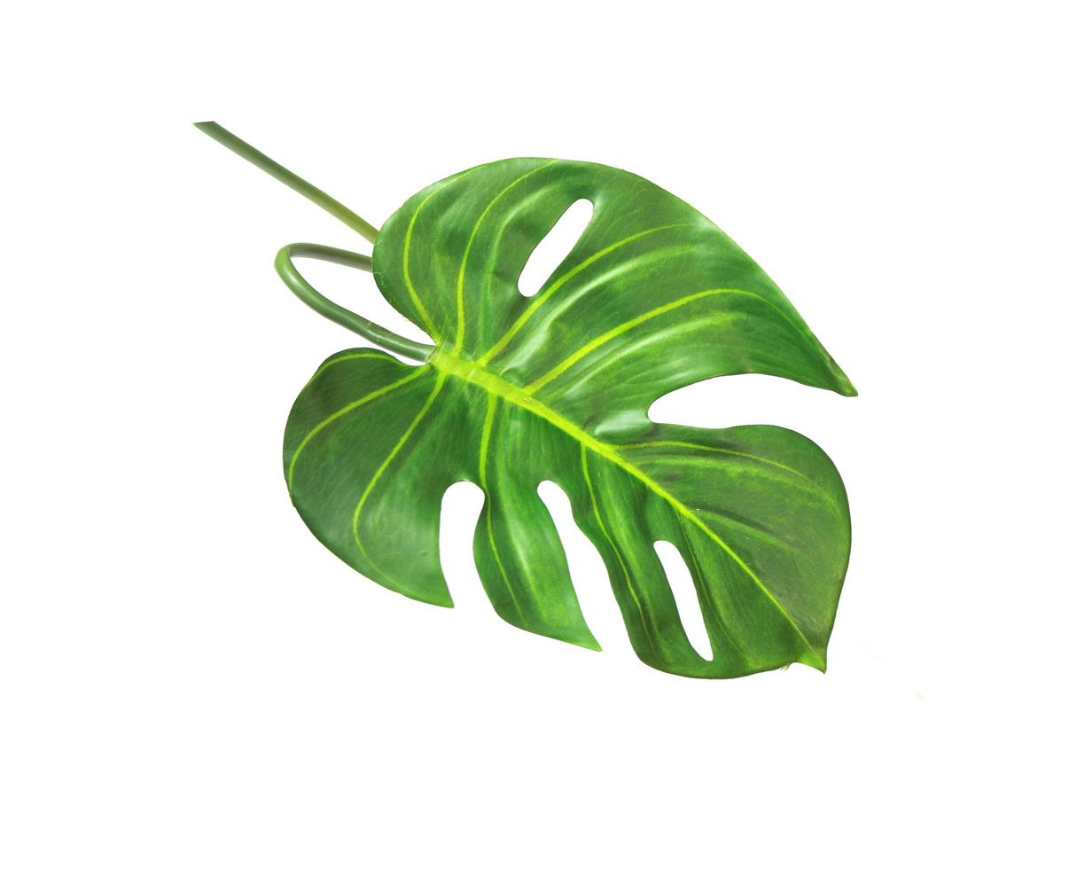 Single monstera leaf photo