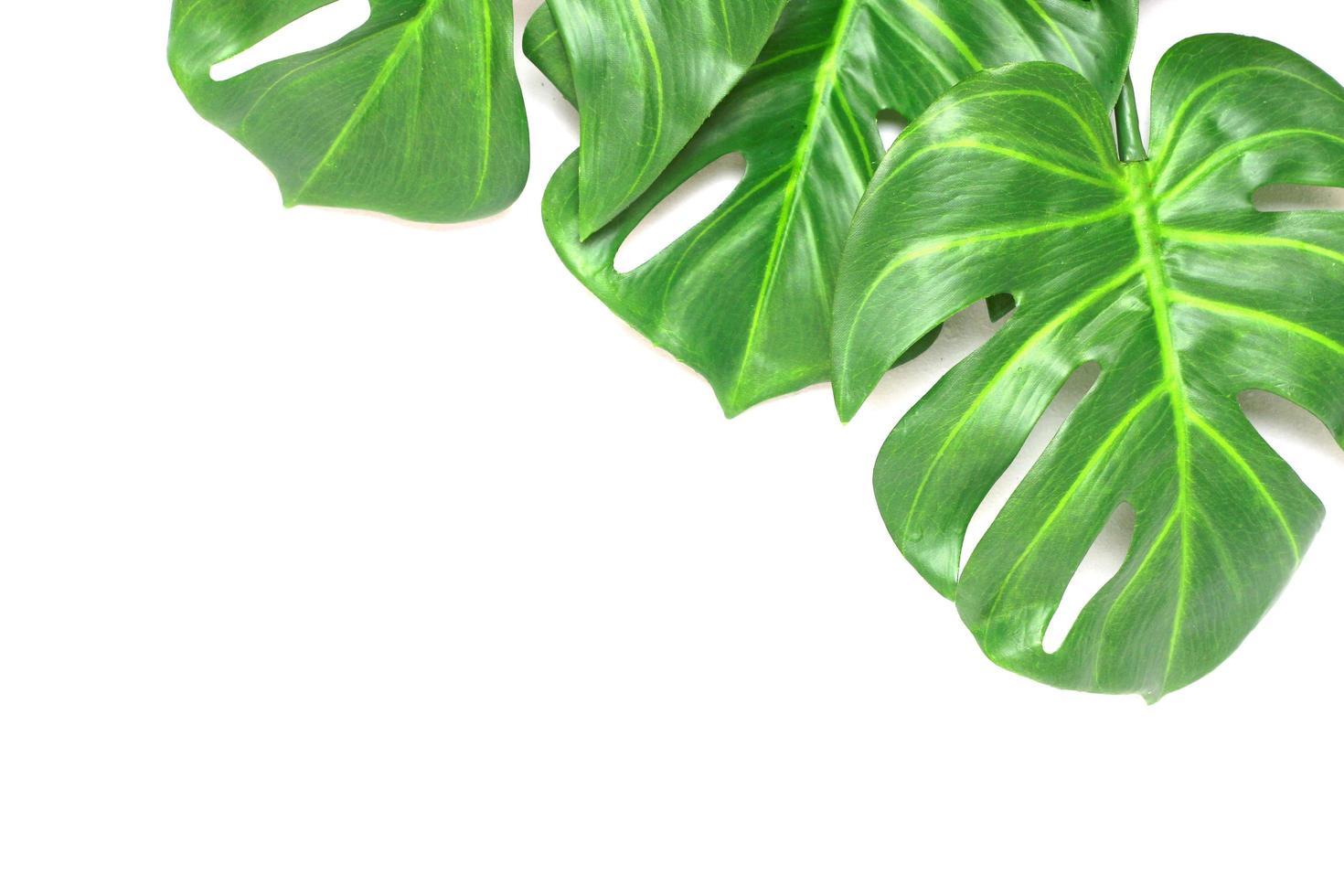 Three monstera leaves photo