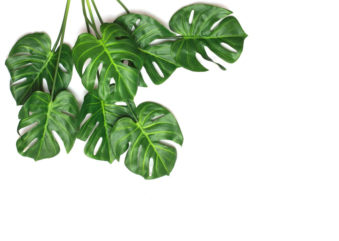 Monstera palm leaves on white photo