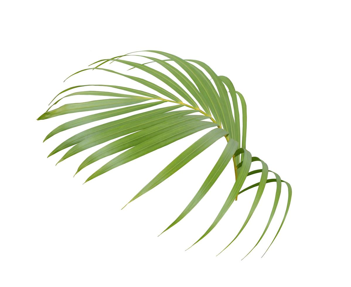 Tropical lush green palm leaf photo