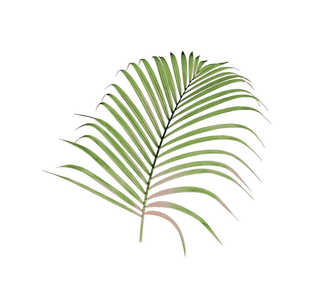 Palm leaf with some brown leaves photo