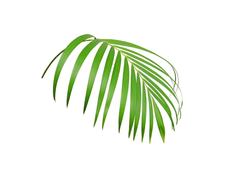 Lush tropical green palm foliage photo