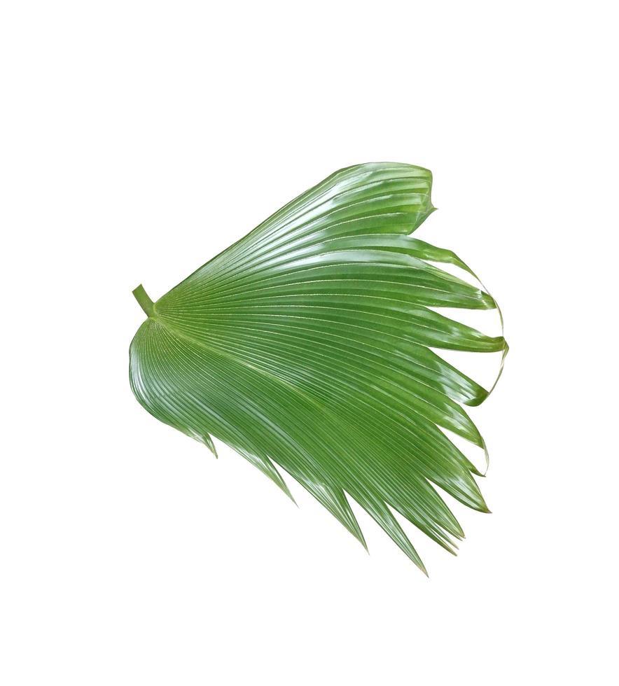 hoja de abanico verde aislada foto